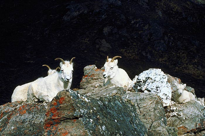 Dall Sheep1rf