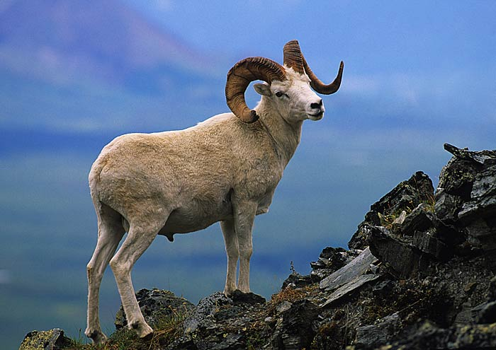 Dall Sheep2rf